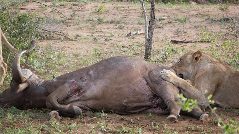 lion buffalo2