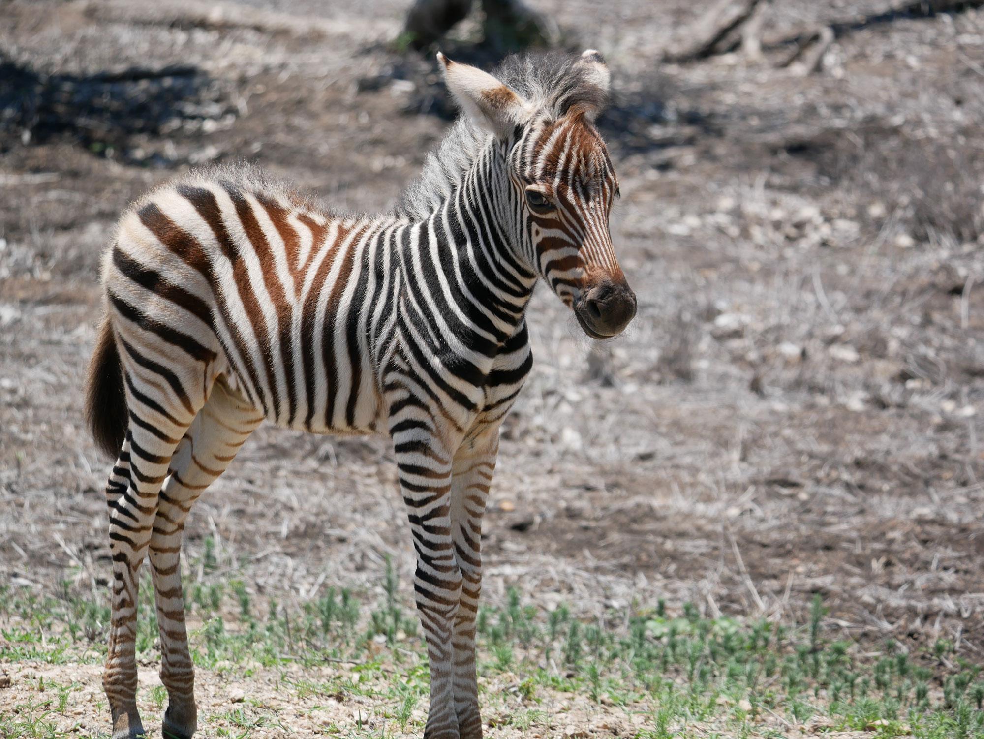 zebra-foal