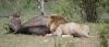 lion-kill